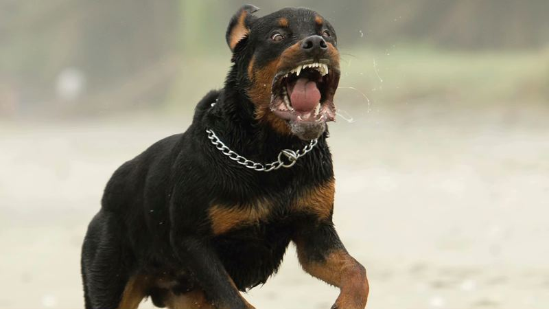 Angry Rottweiler Dog