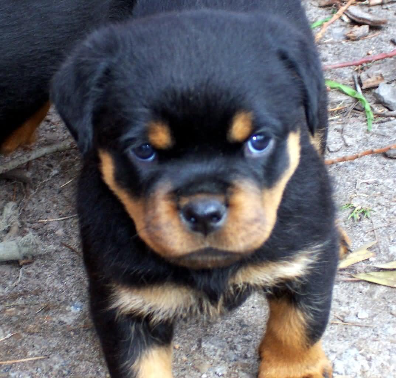 Puppy Dog Rottweiler For Sale In Victoria Australia