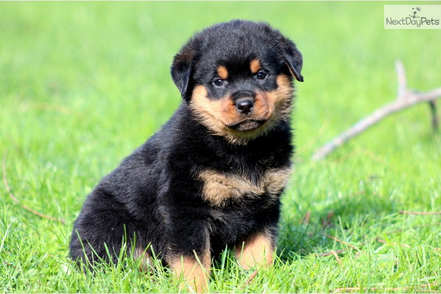 40 Very Cute Rottweiler Puppy Pictures And Images