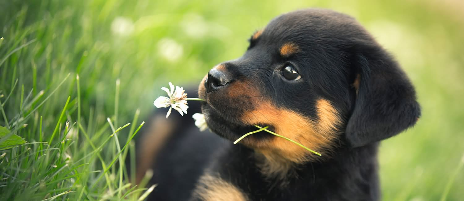 [Image: Rottweiler-Puppy-With-Flower-In-Mouth.jpg]