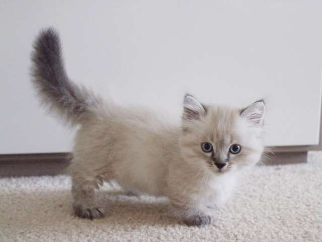 silver cat breeds
