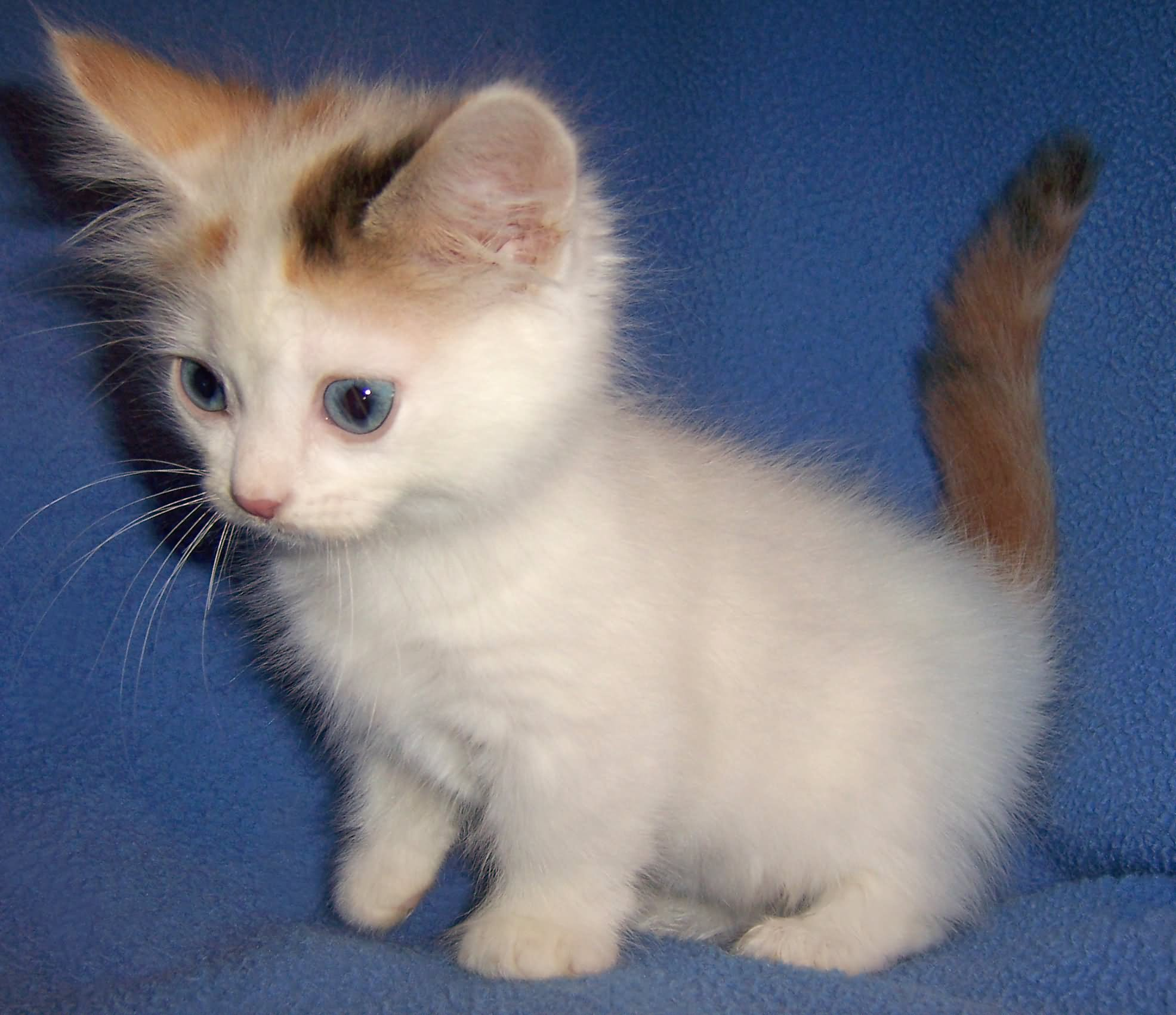45 Awesome Munchkin Kitten Pictures And Photos