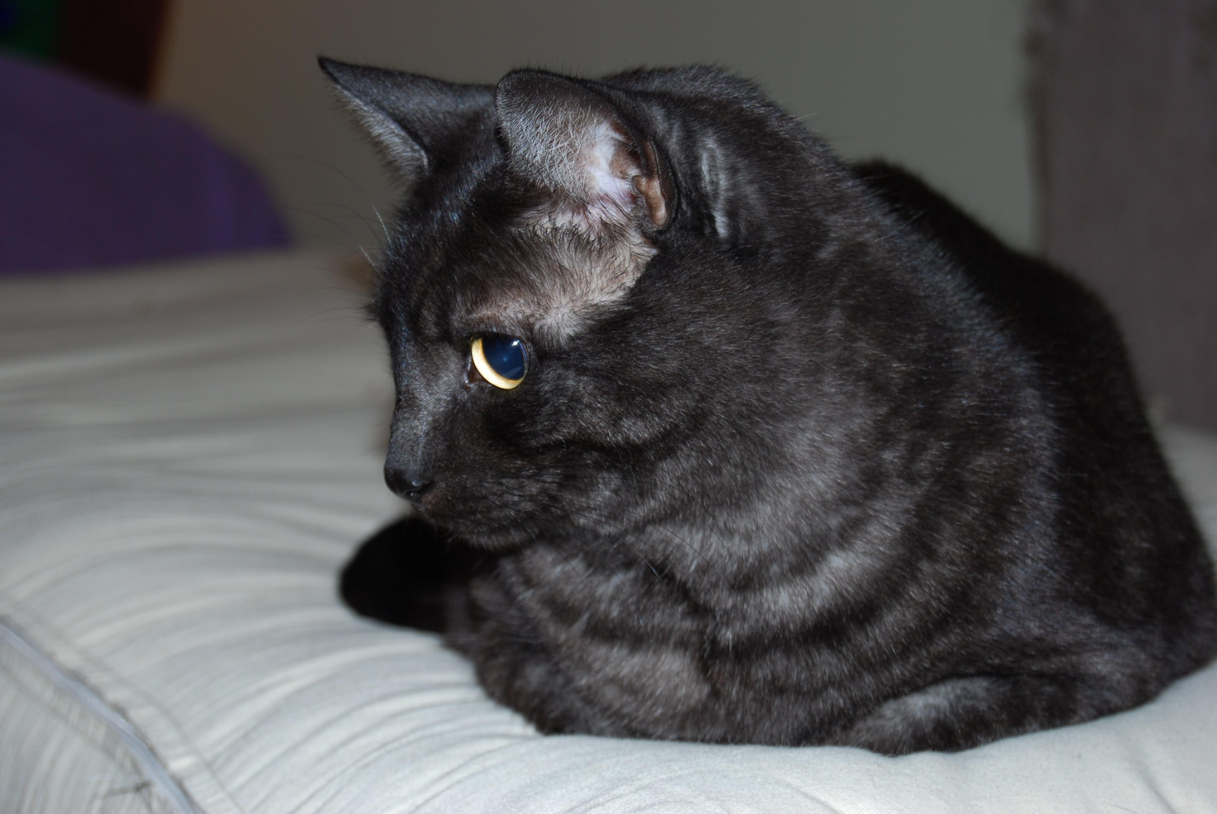Black Tabby Cat Wow