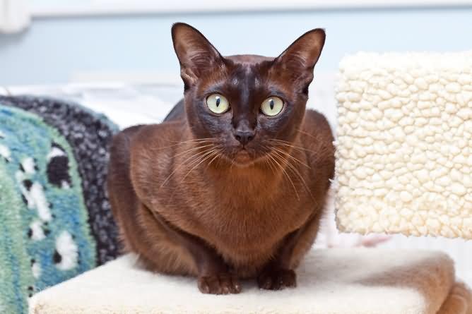 31 Very Beautiful Burmese Cat Photos And Pictures