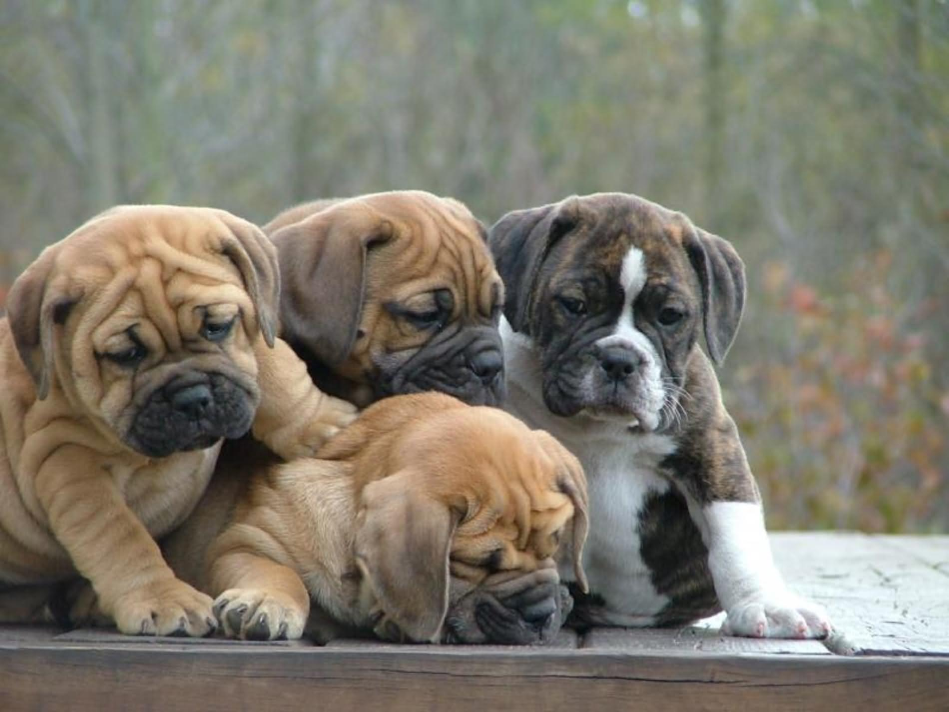 Beautiful Bulldog Puppies Playing