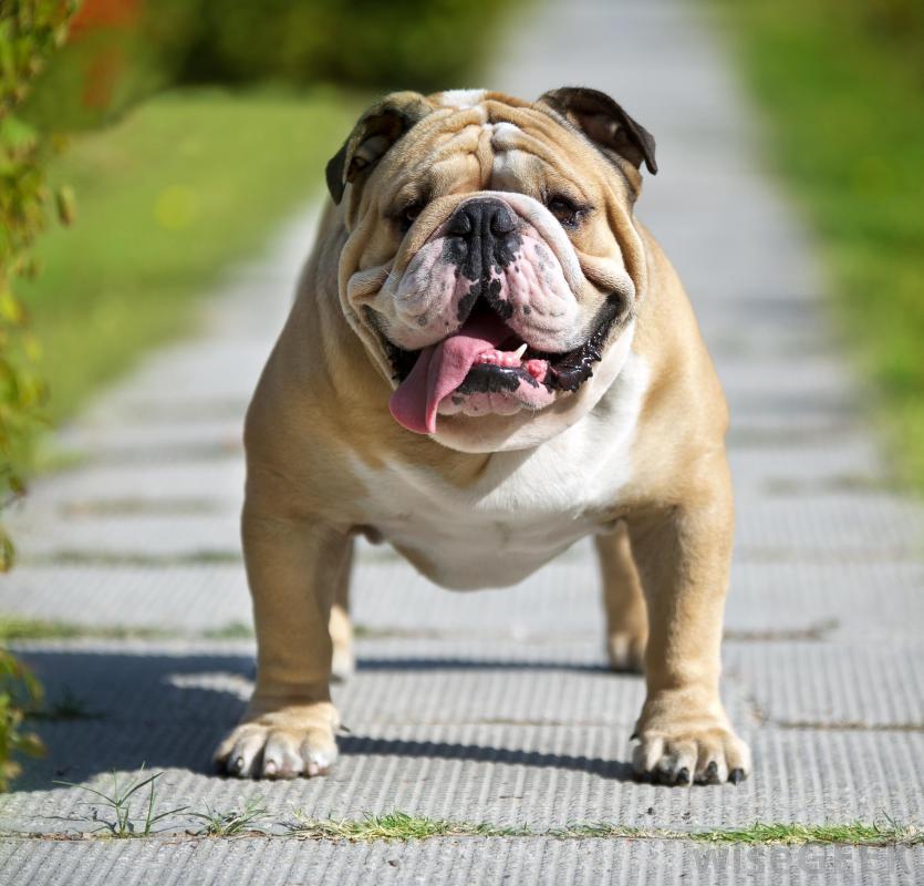 смотреть фото бульдогов собак