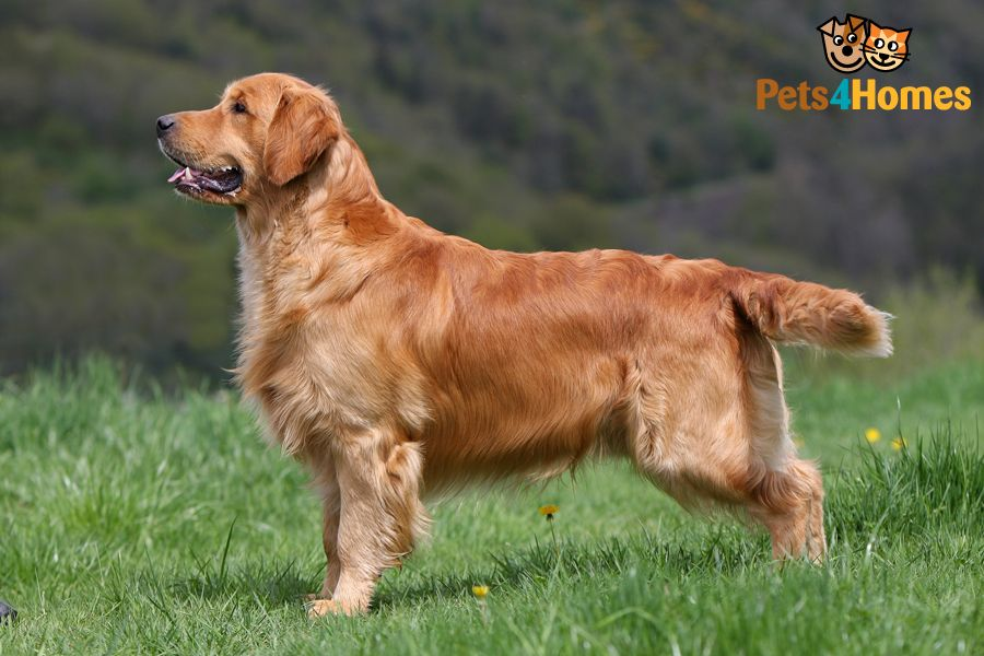 Beautiful Full Grown Golden Retriever Dog