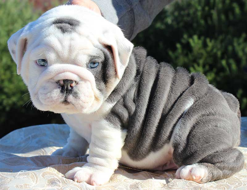 50 Very Cute Bulldog Pictures And Photos