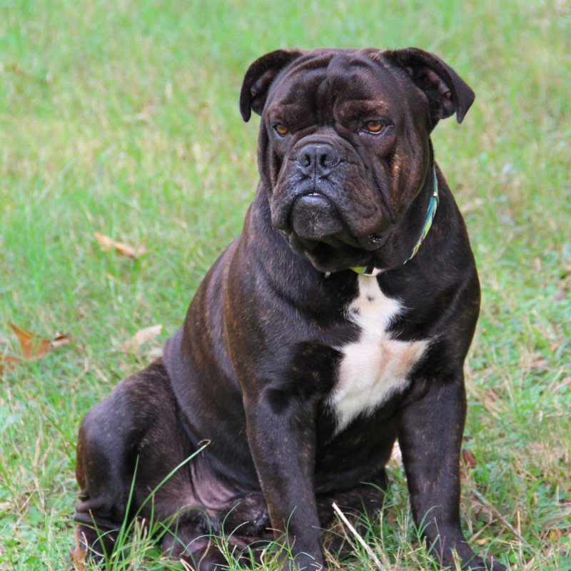 30 Most Beautiful Black Bulldog Pictures 6baa3351af84