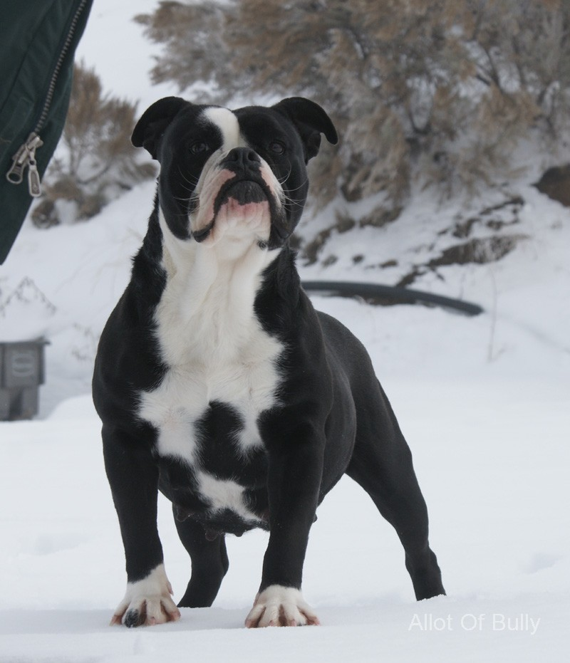 black and white english bulldog 30 most beautiful black bulldog pictures 507