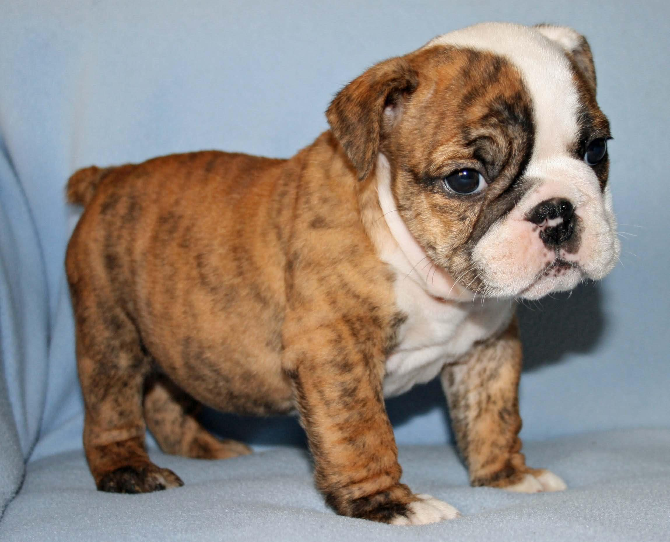 what to know about english bulldog