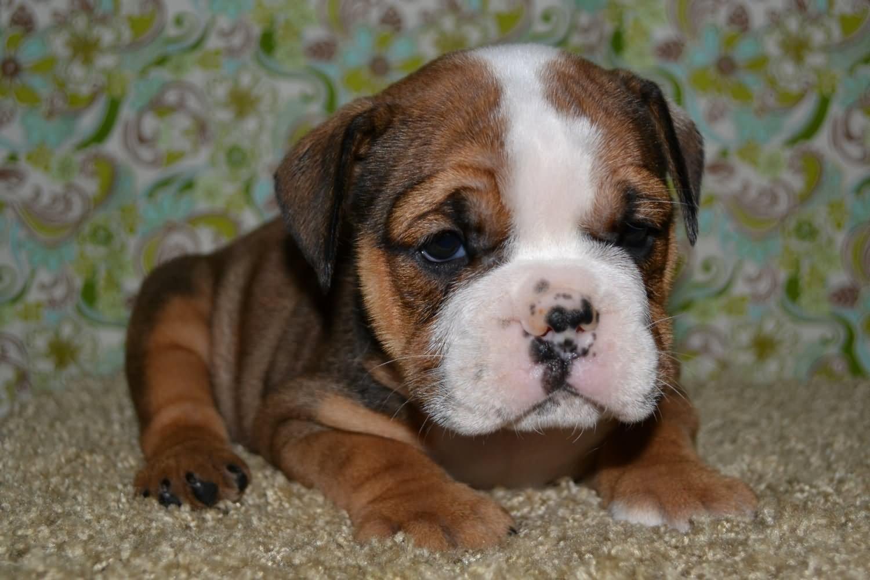 Cute Bulldog Puppy Sitting