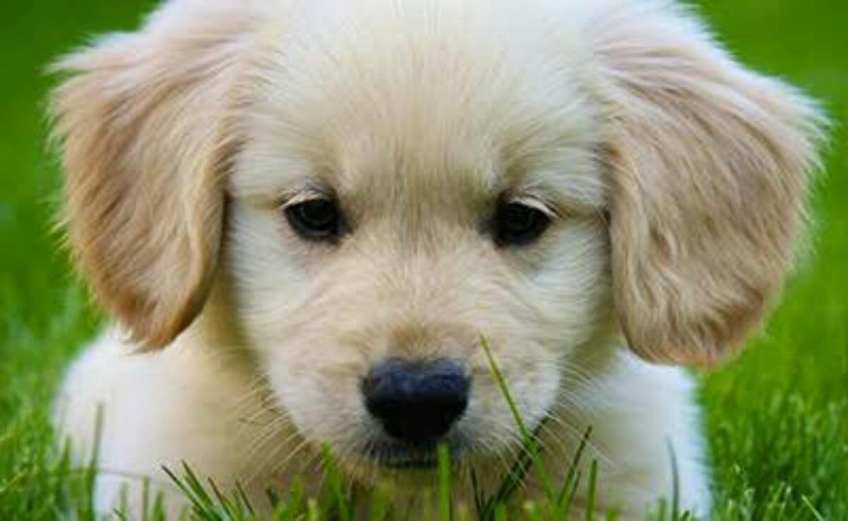 Cute Golden Retriever Puppy Closeup Picture