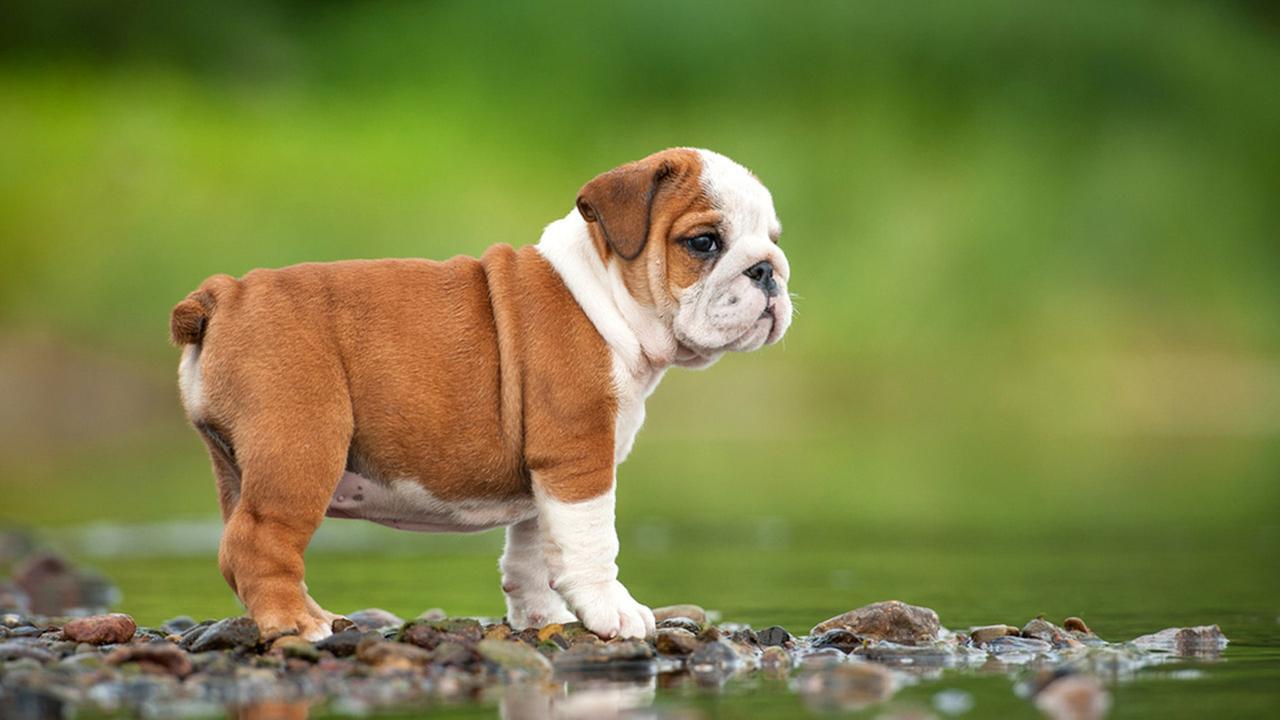 Fawn And White Bulldog Puppy HD Wallpaper