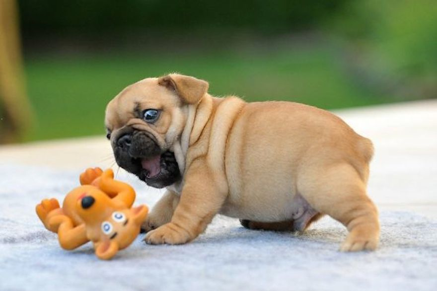 Fawn Bulldog Puppy Playing With Toy