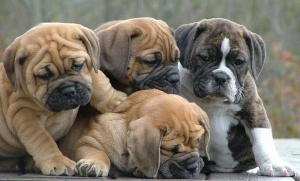 Four Bulldog Puppies Picture