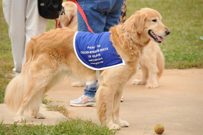 Full Grown Golden Retriever In Dog Show