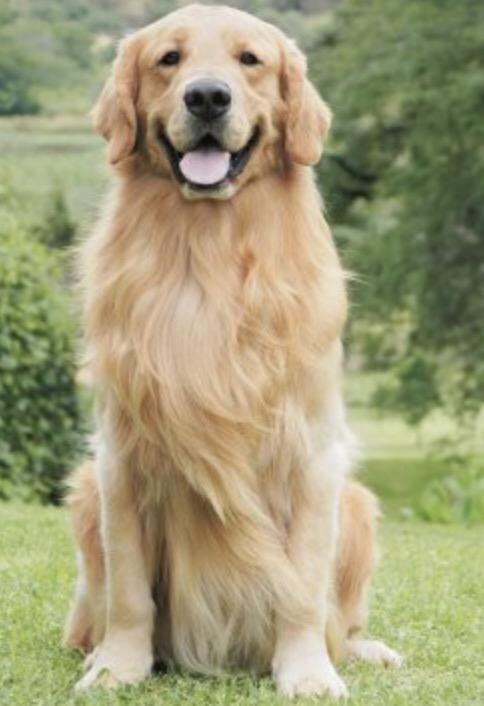 35 Most Awesome Golden Retriever Dog
