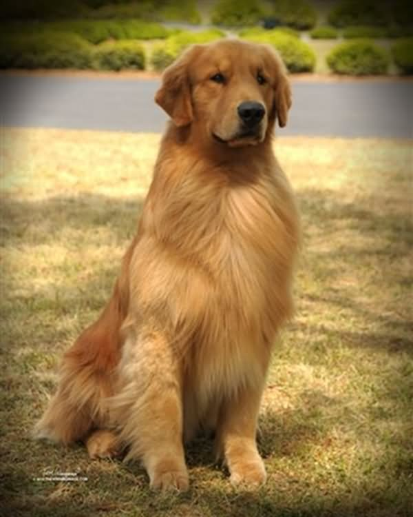 Golden Retriever Dog Sitting Photo