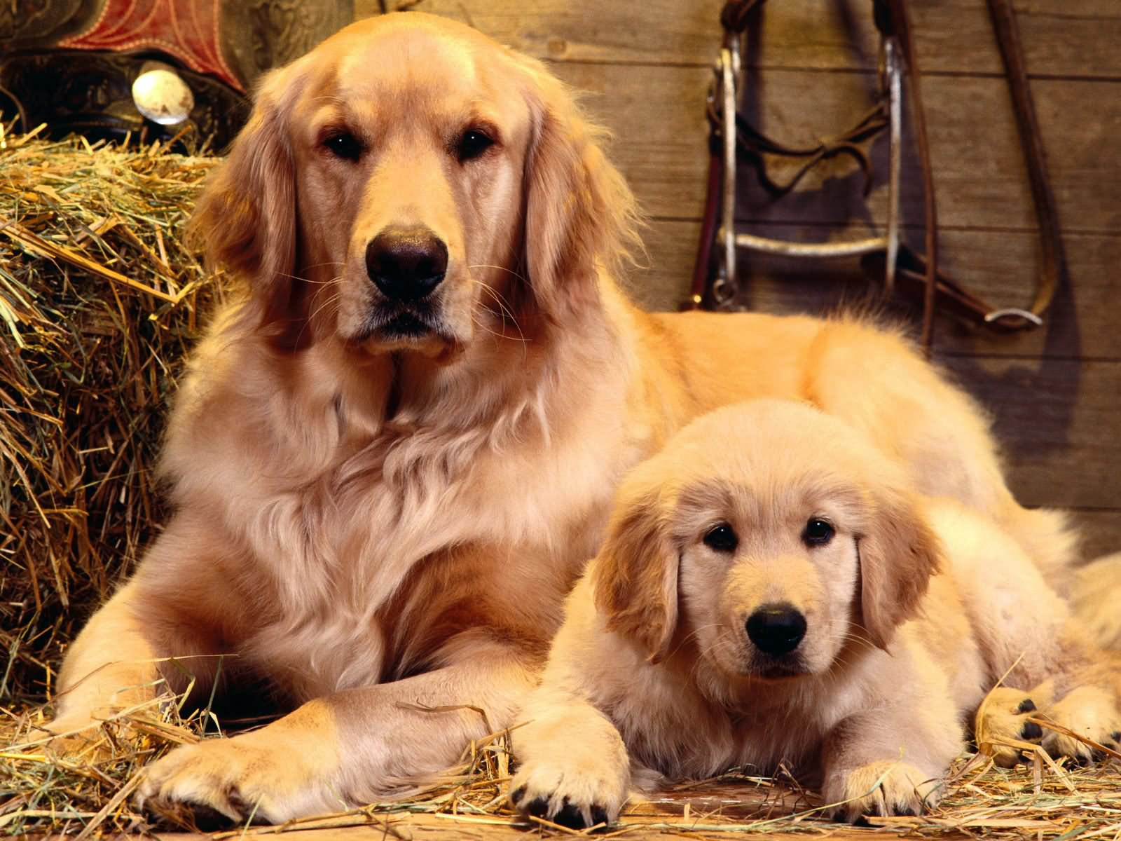 Buy Golden Retriever Puppies For Sale In Tasmania Australia