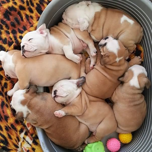 Group Of Sleeping Bulldog Puppies