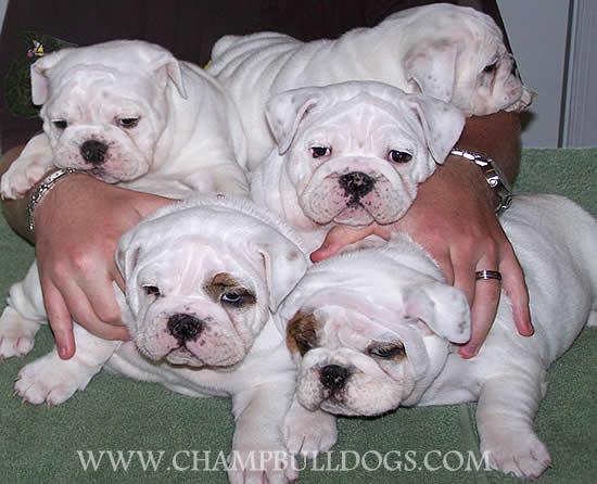 Group Of White Bulldog Puppies