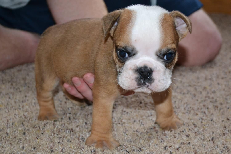 Miniature Fawn Bulldog Puppy