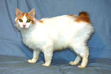 50 Most Awesome White Japanese Bobtail Cat Photos And Images