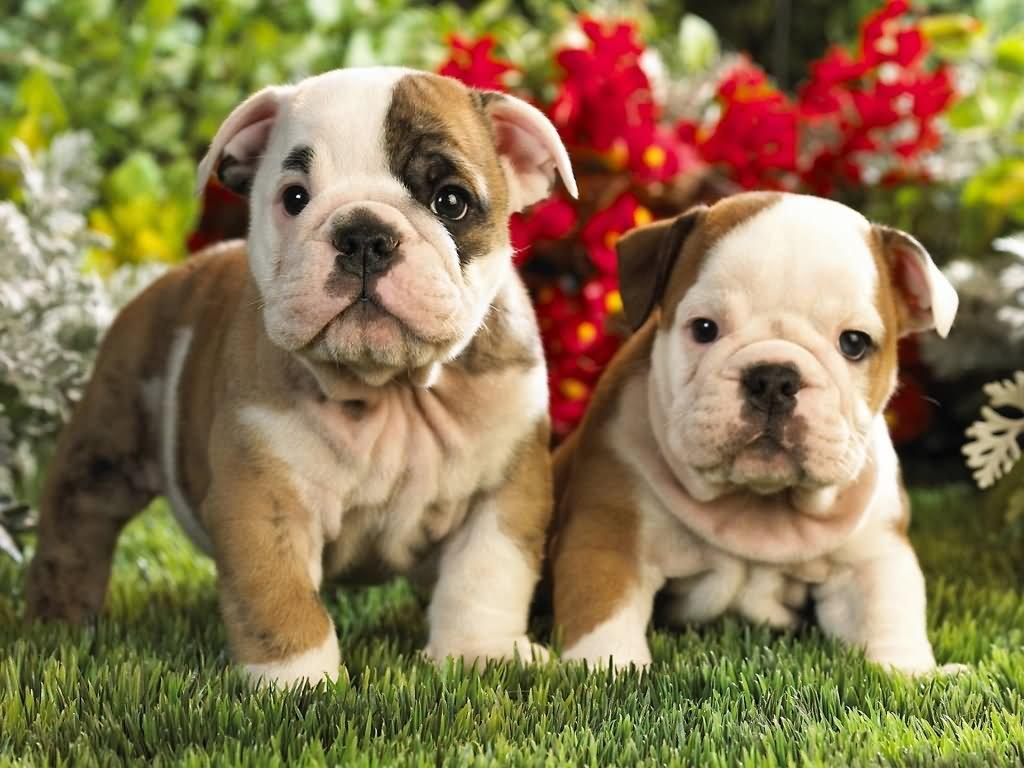Two Cute Bulldog Puppies In Garden