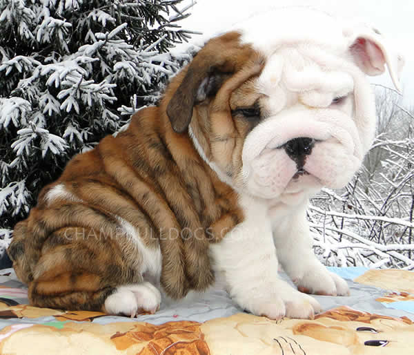 Wrinkled Bulldog Picture