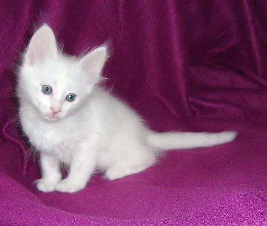 0f69d610d8 50 Most Beautiful Turkish Angora Kitten Pictures
