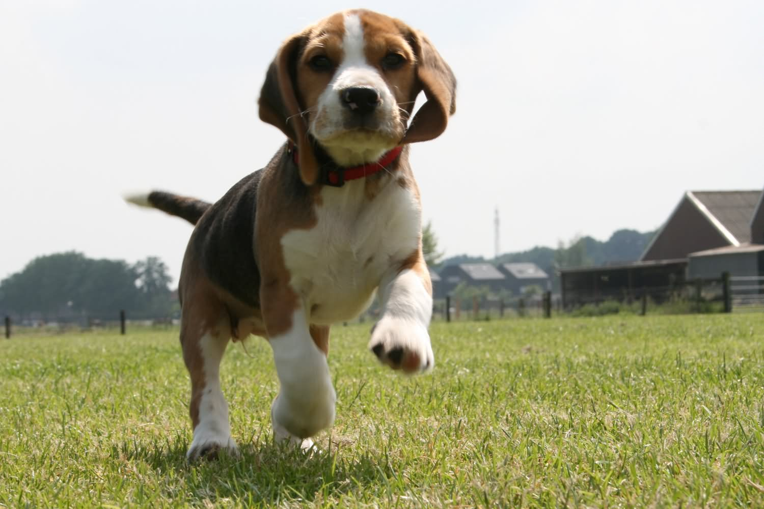 Beagle Running 40 Very Beautiful Beag...