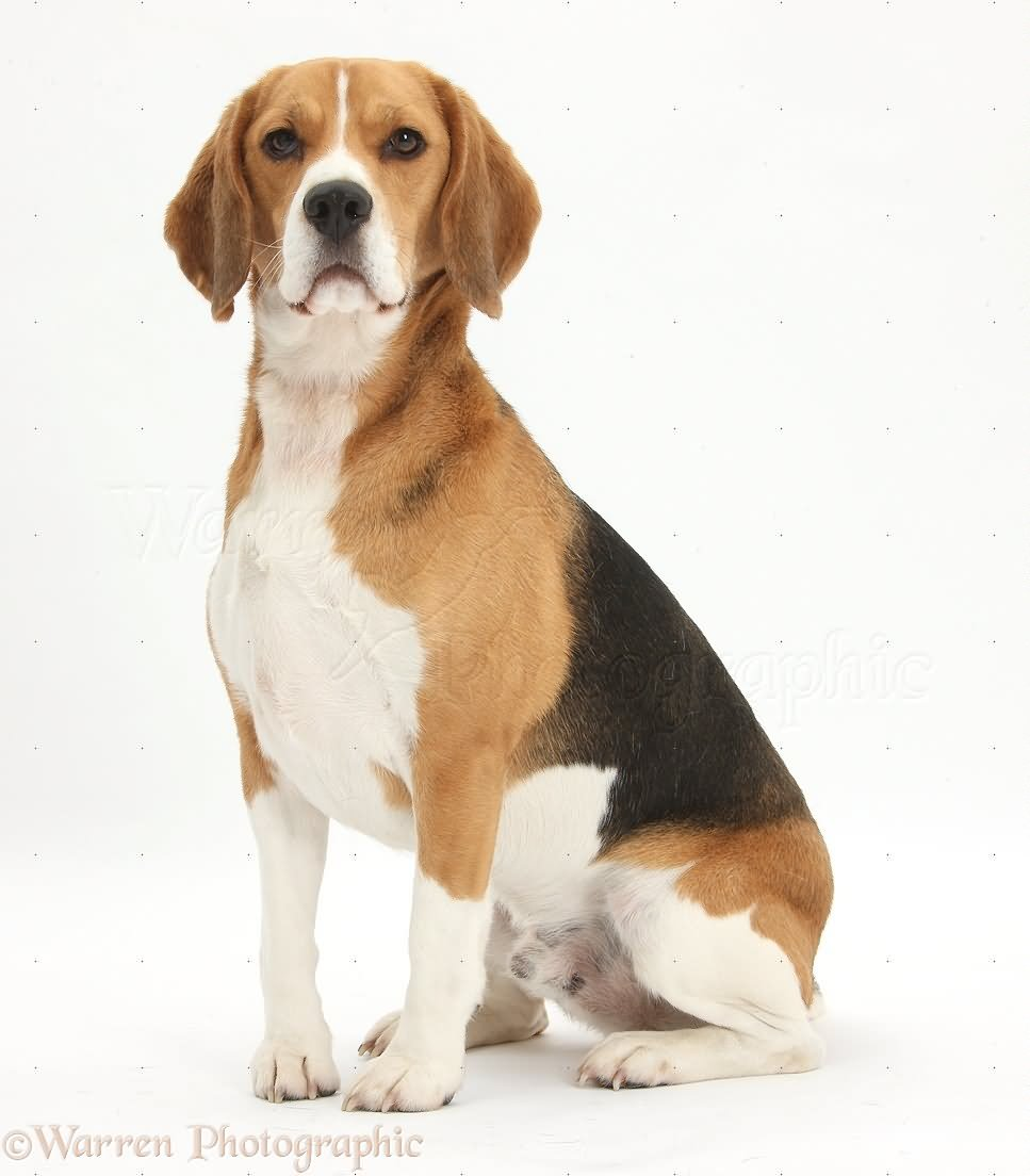40 very beautiful beagle dog photos and images for Puppy dog sitter