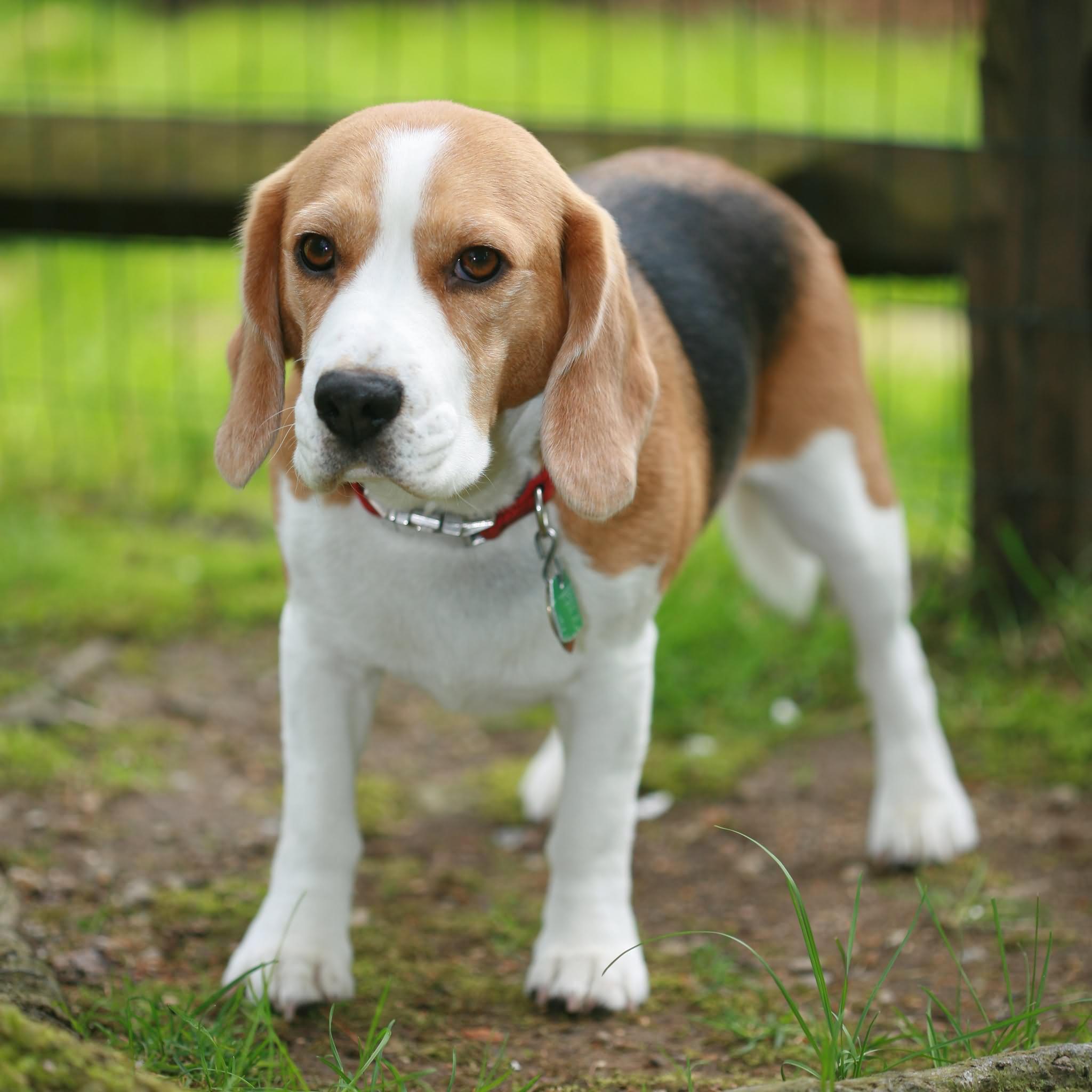 40 Very Beautiful Beagle Dog Photos And Images