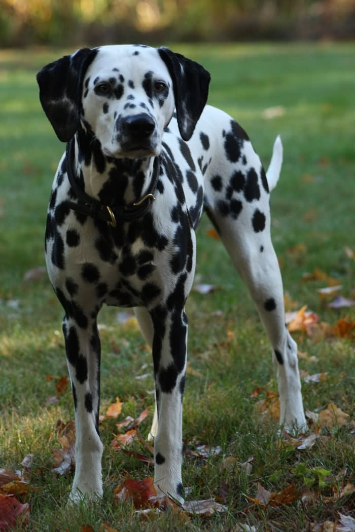 Quotes On Courage And Love Beautiful Dalmatian Do...