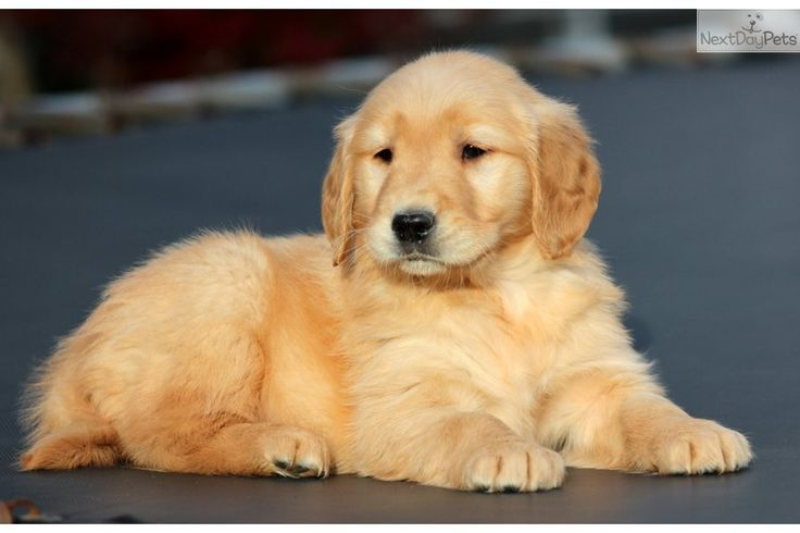 Good Golden Retriever Chubby Adorable Dog - Beautiful-Golden-Retriever-Puppy-Sitting  Image_898298  .jpg