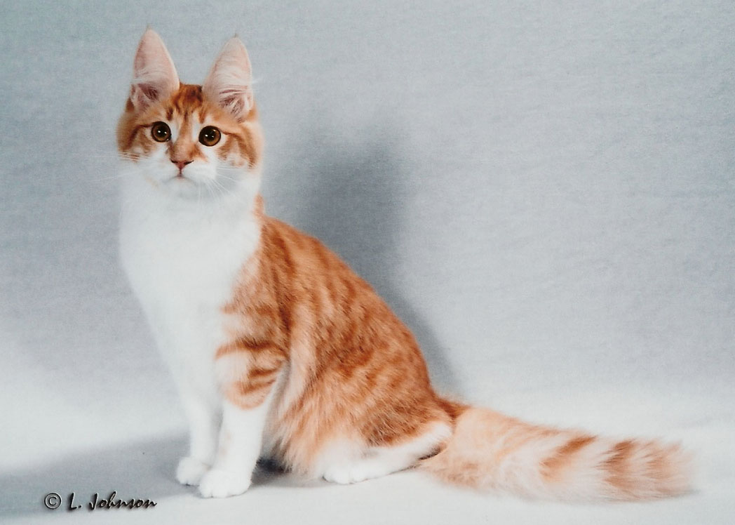 69e161f6be 36 Very Beautiful Orange Turkish Angora Cat Pictures And Images