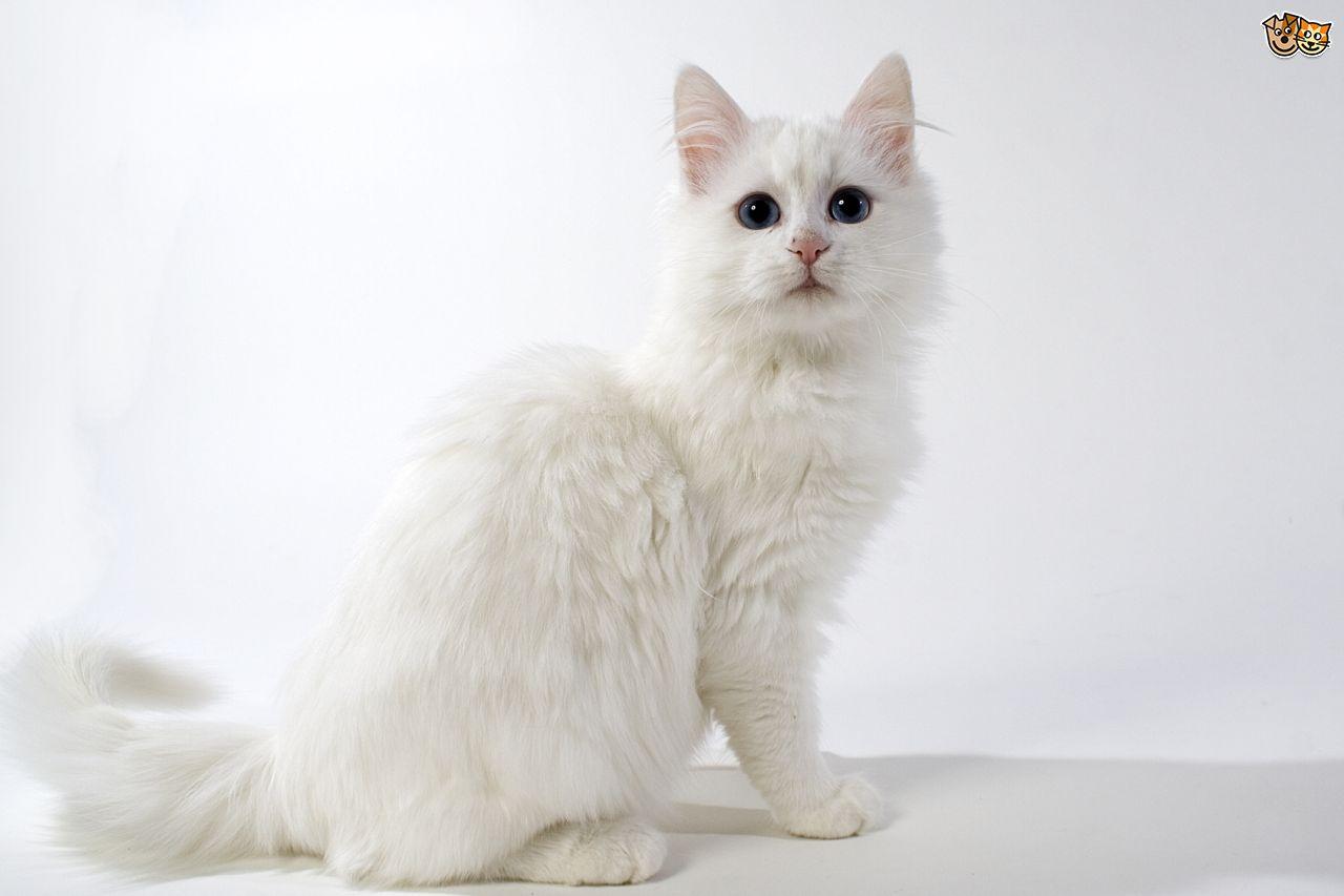 Pics of turkish angora cats