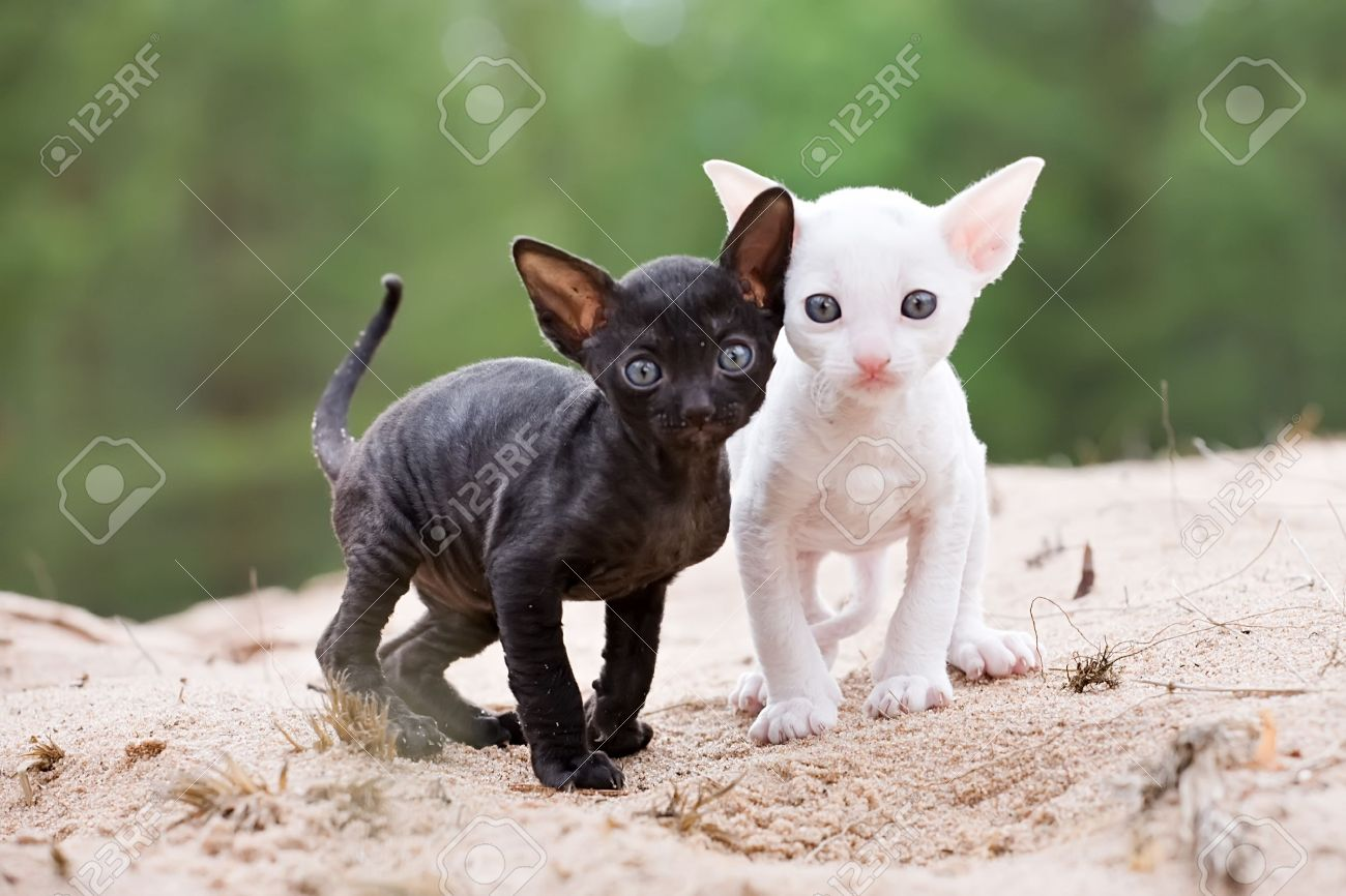 Black And White Cornish Rex Kittens