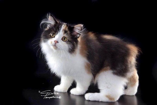 42 Very Beautiful Cymric Cat Photos And Images