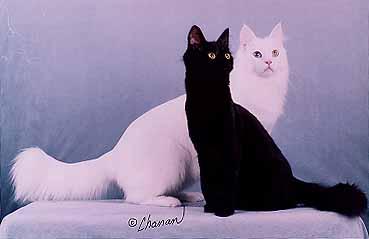 Black And White Two Turkish Angora Cats