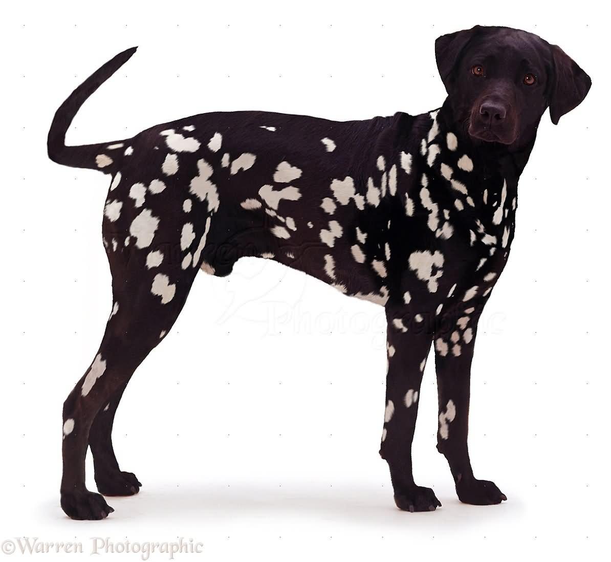 dalmatian dog askideas com dalmatian clip art no black dots dalmatian clip art black and white png