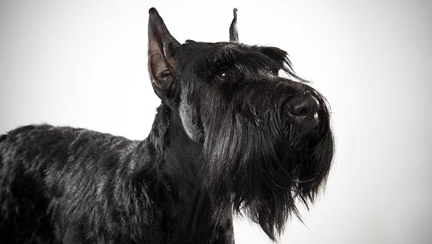 40 Very Beautiful Giant Schnauzer Dog Photos And Images