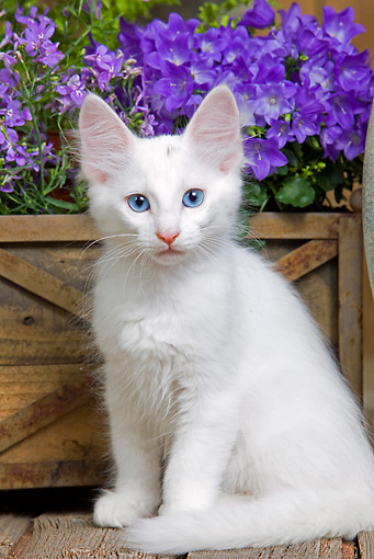 d36d48c864 50 Most Beautiful Turkish Angora Kitten Pictures
