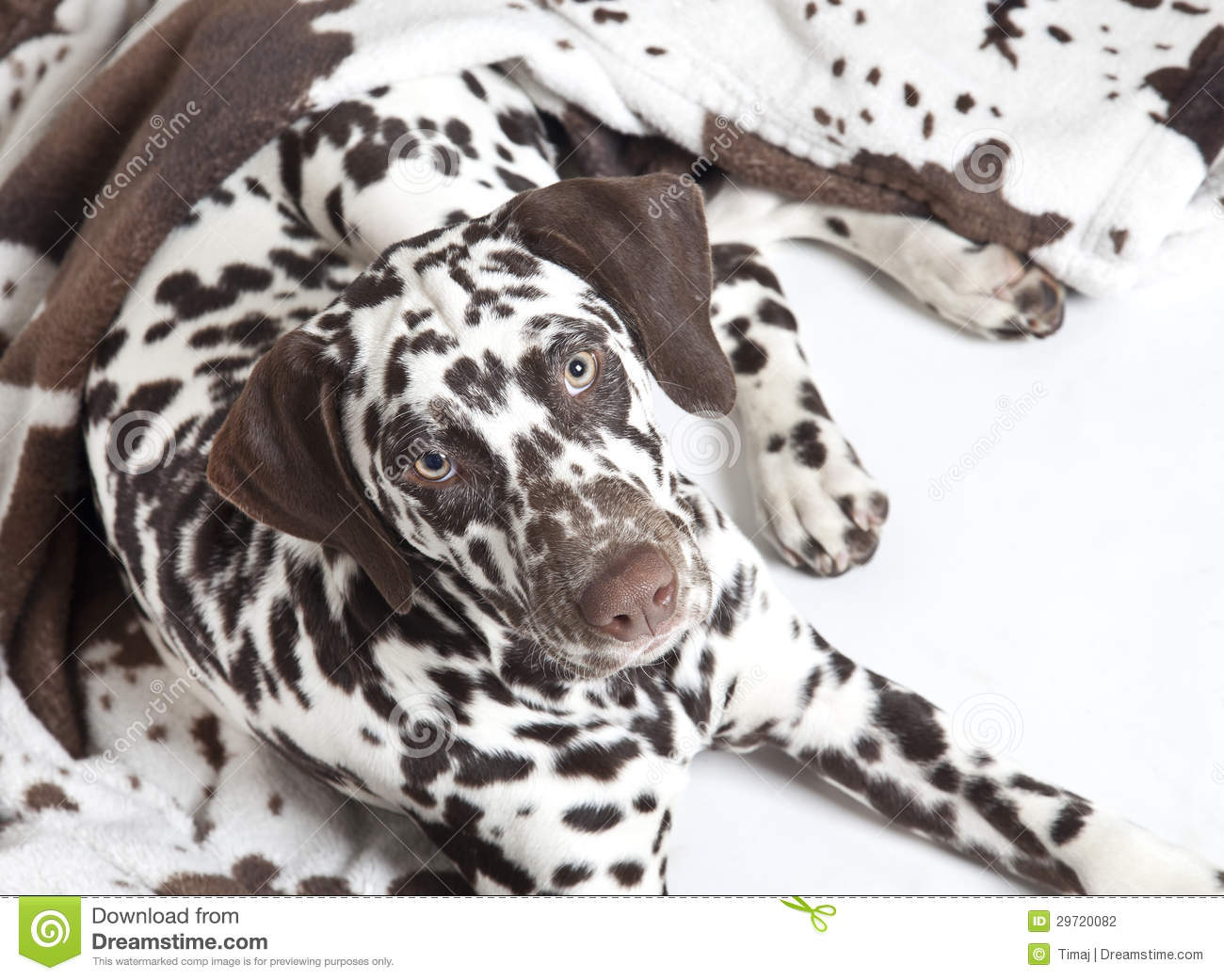Travel Dog Bed >> 22 Awesome Brown Dalmatian Dog Photos