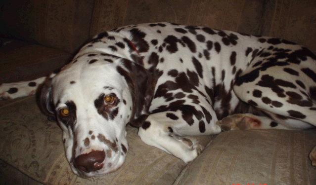 22 Awesome Brown Dalmatian Dog Photos