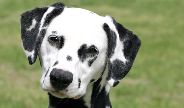 white-pitbull-mix-with-brown-spots