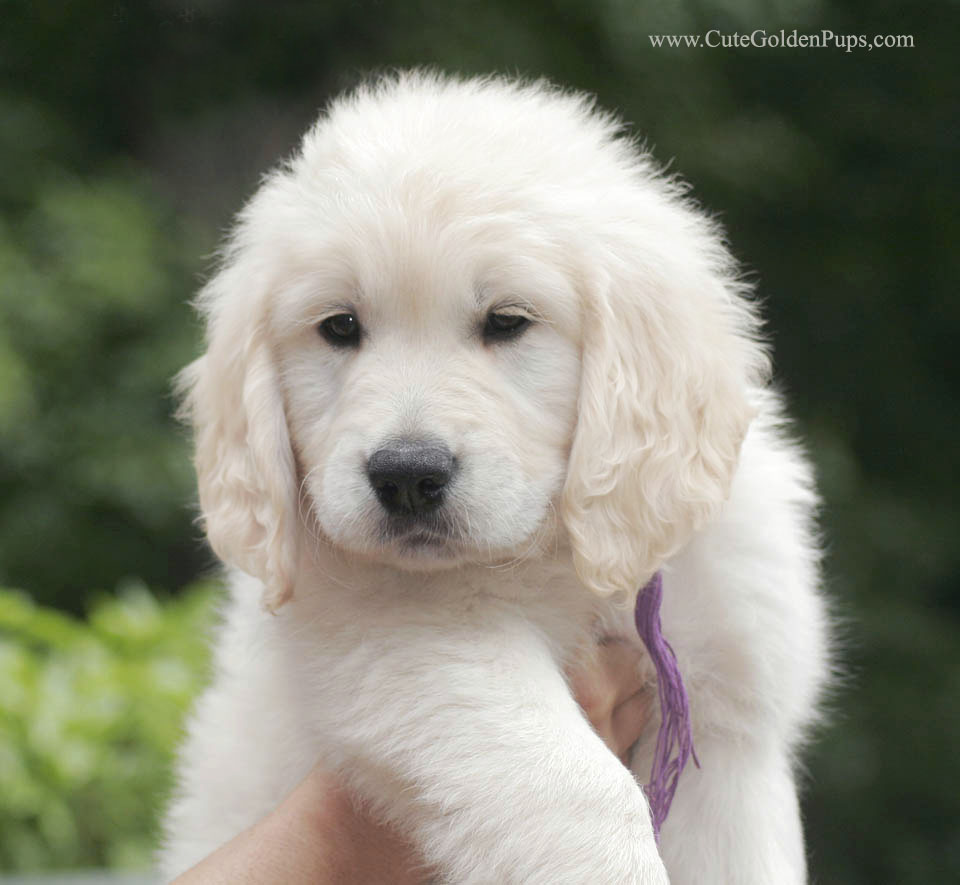 50+ Most Stunning White Golden Retriever Photos And Images