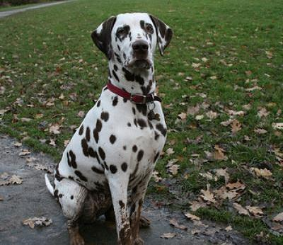 25 Most Awesome Dalmatian Dog Pictures And Images