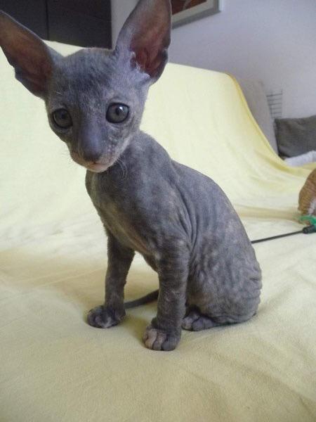 Blue Cornish Rex Cats